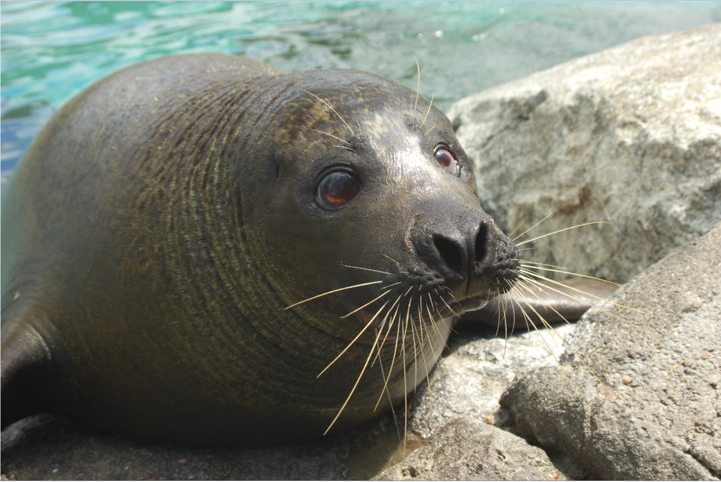 Beloved Virginia Aquarium Harbor Seal Norton Passes Away