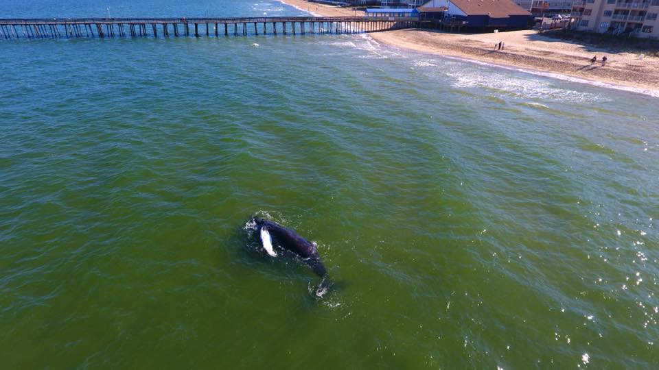 Young humpback whale found dead in va beach for Fish bones va beach